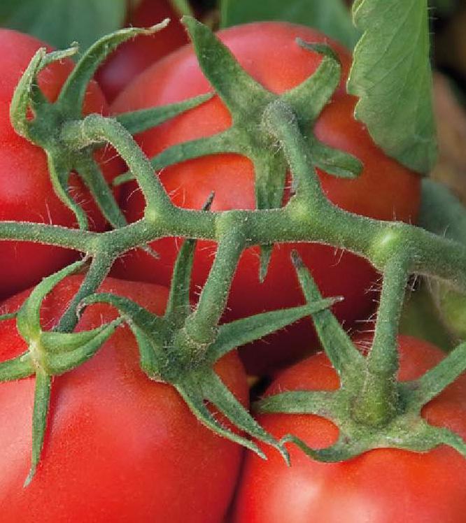 Miceno F1, Tomate Industrielle