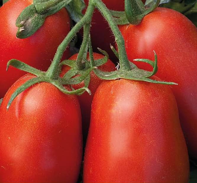 Umex F1, Tomate Industrielle