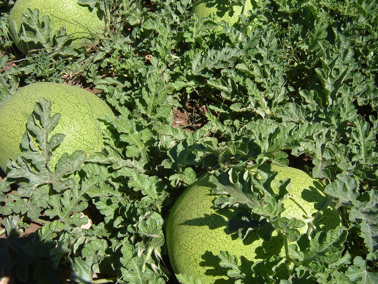 Pastèque-melon
