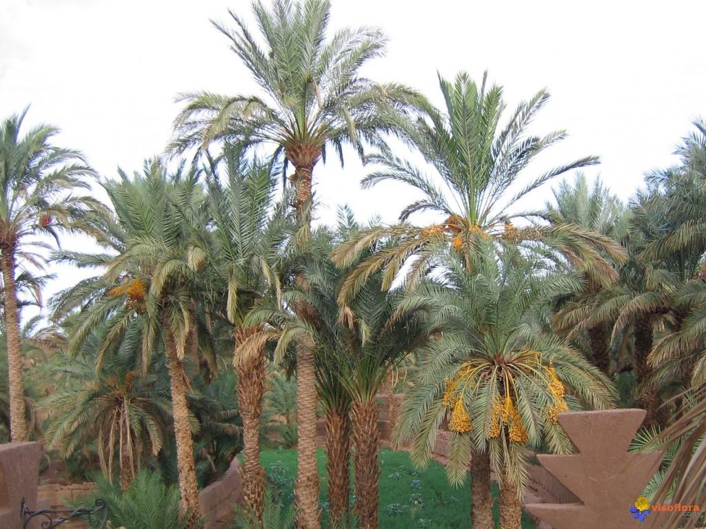 Le Palmier-dattier